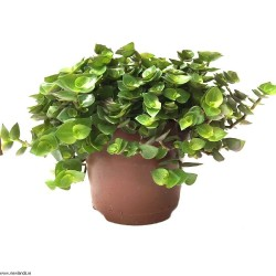 """Plante naturelle """"Callisia"""""""