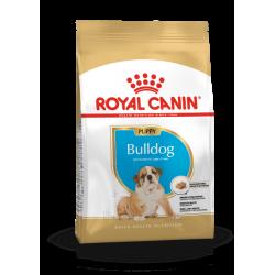 Bulldog Anglais -  Junior