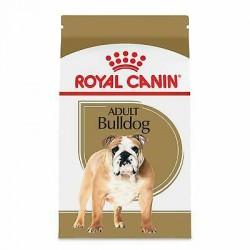 Bulldog Anglais - Adulte