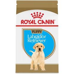 Labrador - Junior