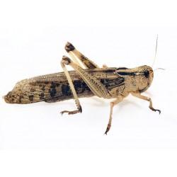 Locustes vivants pour reptiles